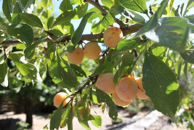 At Les Taloches there are numerous fruit trees, including the famous Mirabelle (delicious as a crumble or made into Mirabelle vodka!).